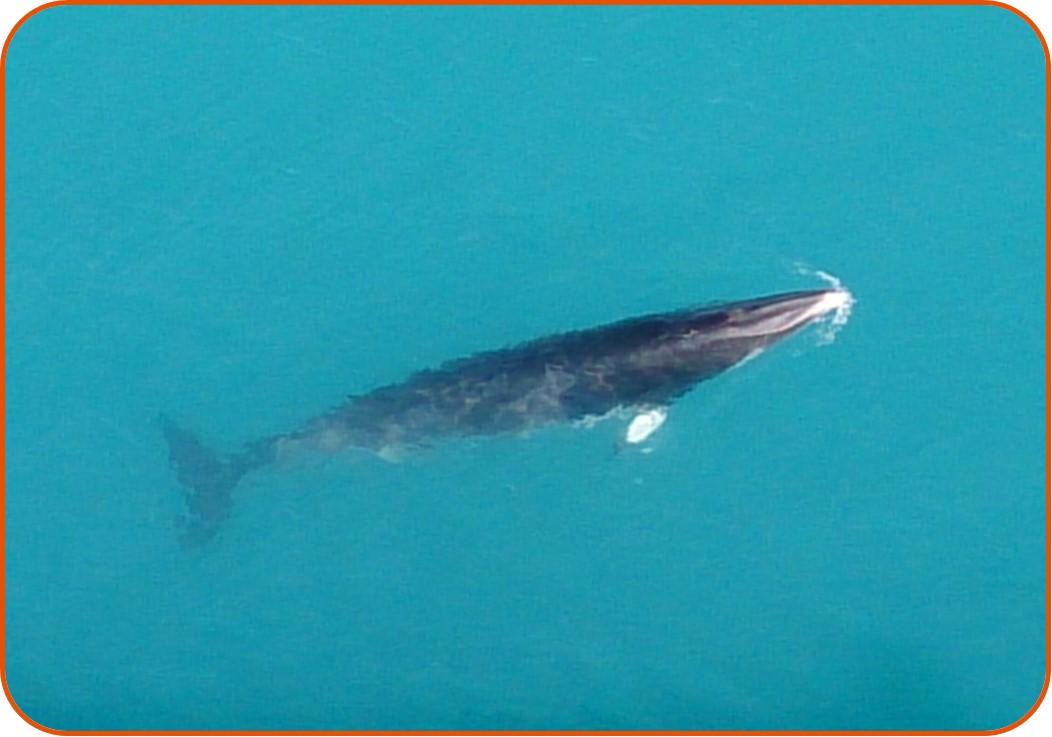 Minke whale (Balaenoptera acutorostrata) around the legs of an O&G installation in the North Sea